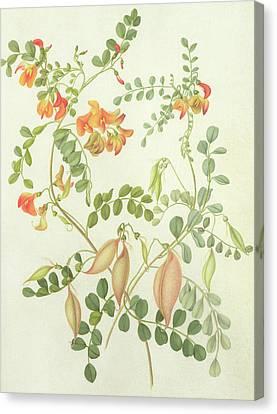 Red Leaf Canvas Print - Colutea Arbordscens Media by Matilda Conyers