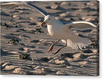 Coming In For A Landing Canvas Print by Angie Tirado