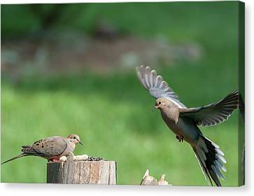 Coming In For Landing On The Log Canvas Print by Dan Friend