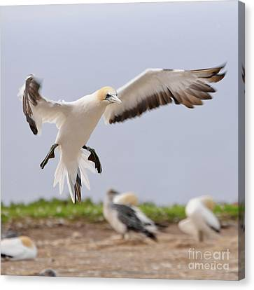 Coming In To Land Canvas Print by Werner Padarin