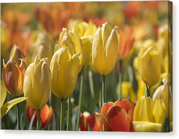 Coming Up Tulips Canvas Print