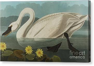 Yellow Beak Canvas Print - Common American Swan by John James Audubon