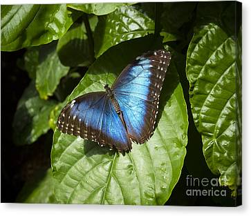 Common Blue Morpho Butterfly Canvas Print