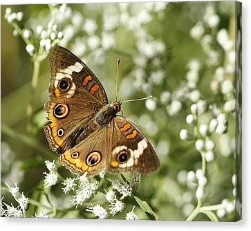 Common Buckeye Butterfly On White Thoroughwort Wildflowers Canvas Print by Kathy Clark