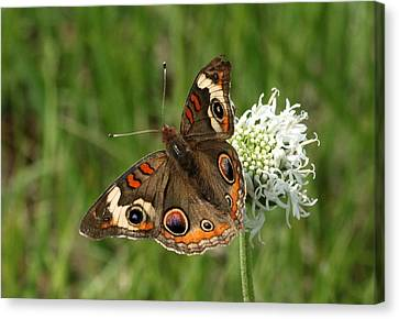 Common Buckeye Butterfly On Wildflower Canvas Print by Sheila Brown