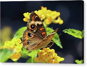 Common Buckeye On Flower Canvas Print by Cynthia Guinn