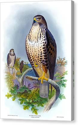 Common Buzzard Antique Bird Print The Birds Of Great Britain Canvas Print by Orchard Arts