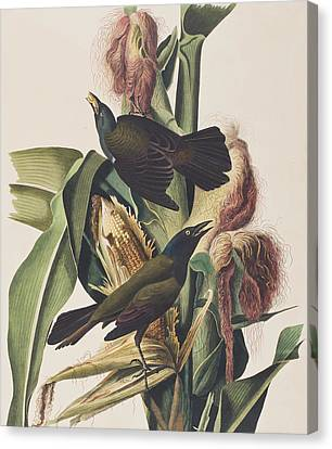 Common Crow Canvas Print by John James Audubon