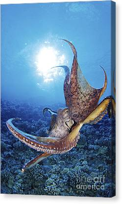 Jet-propelled Canvas Print - Common Cuttlefish by Dave Fleetham - Printscapes
