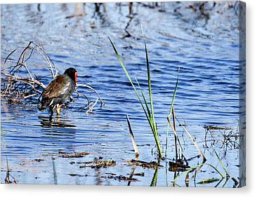 Common Gallinule Canvas Print by Gary Wightman