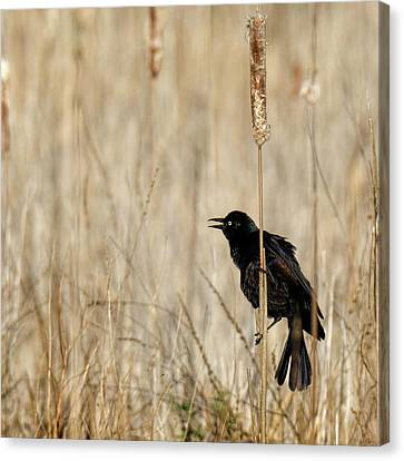 Common Grackle Calling Square Canvas Print by Bill Wakeley