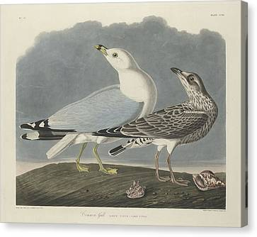 Seagull Canvas Print - Common Gull by Dreyer Wildlife Print Collections
