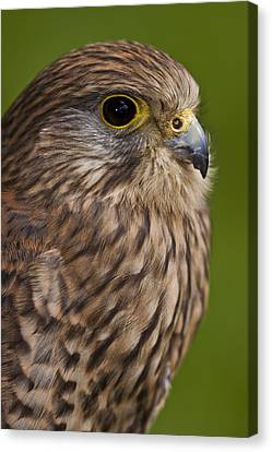 Common Kestrel Falco Tinnunculus Canvas Print