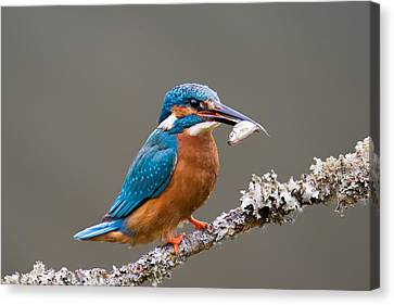 Canvas Print featuring the photograph Common Kingfisher 1 by Phil Stone
