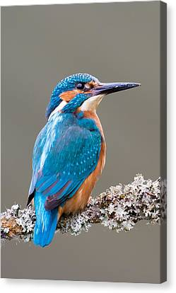 Canvas Print featuring the photograph Common Kingfisher 2 by Phil Stone