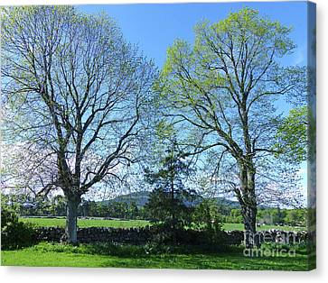Common Lime Trees In Spring Canvas Print by Phil Banks