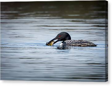 Common Loon Canvas Print by Bill Wakeley