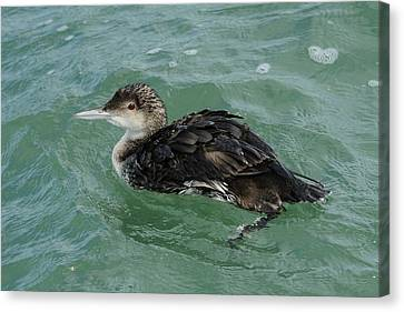 Canvas Print featuring the photograph Common Loon In Winter by Bradford Martin