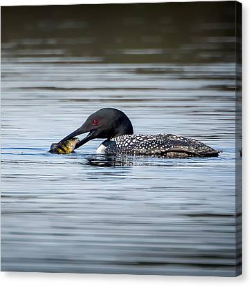 Common Loon Square Canvas Print by Bill Wakeley