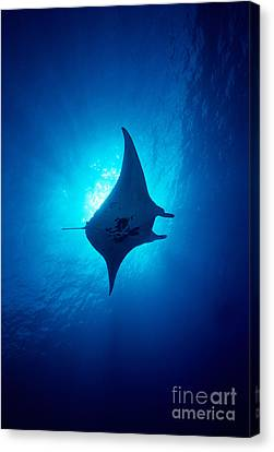 Common Manta Ray Canvas Print