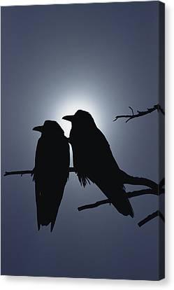 Common Raven Pair Perching Canvas Print by Michael Quinton