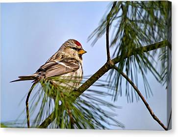 Canvas Print featuring the photograph Common Redpoll Bird by Christina Rollo