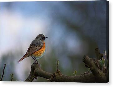 Common Redstart Canvas Print
