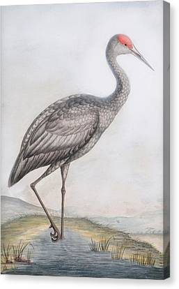 Common Spoonbill Canvas Print