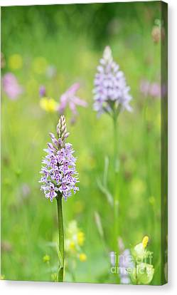 Common Spotted Orchid Canvas Print by Tim Gainey