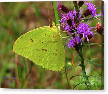Canvas Print featuring the photograph Common Sulphur Butterfly by Donna Brown