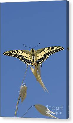 Common Swallowtail Canvas Print