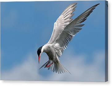 Common Tern  Canvas Print by Ian Hufton