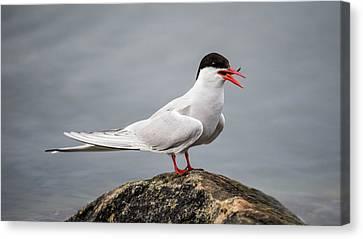 Hirundo Canvas Print - Common Tern by Torbjorn Swenelius