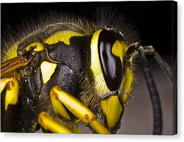 Common Wasp Vespula Vulgaris Close-up Canvas Print by Gabor Pozsgai