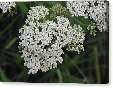 Canvas Print featuring the photograph Common Yarrow Closeup by Robyn Stacey