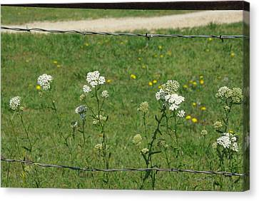 Canvas Print featuring the photograph Common Yarrow by Robyn Stacey
