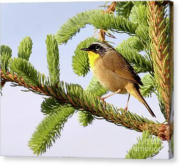 Canvas Print featuring the photograph Common Yellow-throat by Debbie Stahre