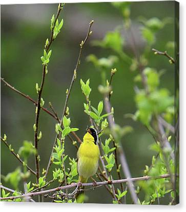 Common Yellowthoat Singing Square Canvas Print