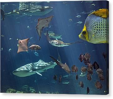 Fish Canvas Print - Community  by Betsy Knapp