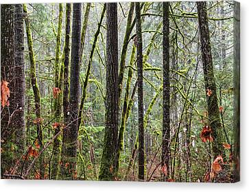 Comox Valley Forest-1 Canvas Print