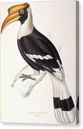 Concave Hornbill Canvas Print by John Gould