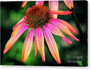 Cone Flower Beauty Canvas Print by Kasia Bitner