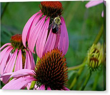 Cone Flower  Bumble Bee Macro Canvas Print by Martin Morehead