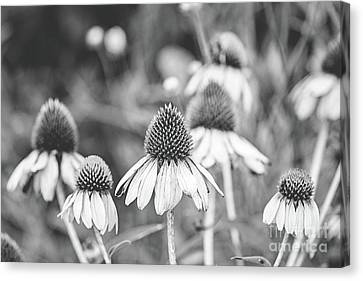 Canvas Print - Cone Flower - Bw by Scott Pellegrin