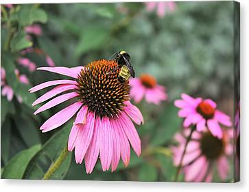Canvas Print featuring the photograph Cone Flowers And Bee by Sheila Brown