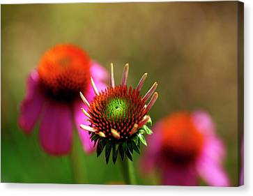 Cone Flowers Canvas Print by Bill Morgenstern