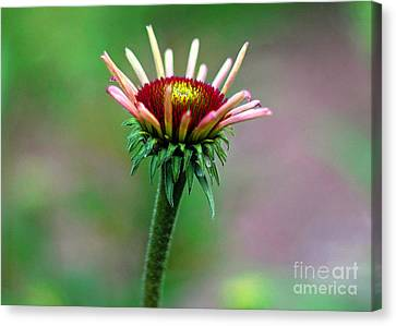 Coneflower Bloom Canvas Print