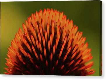 Coneflower Crown With Raindrops Canvas Print