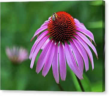 Canvas Print featuring the photograph Coneflower by Judy Vincent