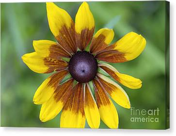 Coneflower - New England Wild Flower Canvas Print by Erin Paul Donovan